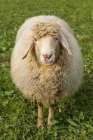 ovelhas em um prado verde foto