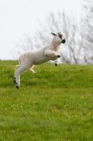 pulando primavera cordeiro foto