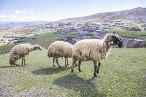 ovelhas (rebanhos) alimentando-se de Prado foto