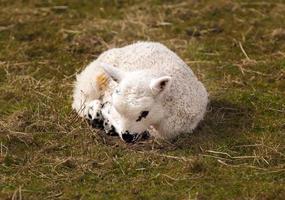 bebê cordeiro deitado na grama foto