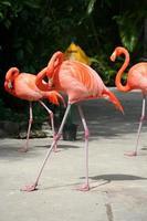 cruzamento de flamingo foto