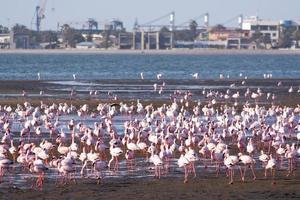 flamingos na baía de swakopmund foto