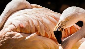 dois flamingos foto