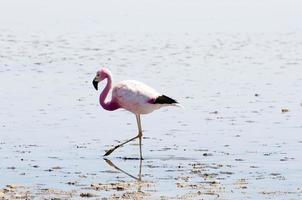 flamingo - lagoa chaxa - chile foto
