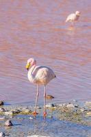 flamingo de james, salar de uyuni, bolívia