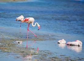 flamingos cor de rosa na lagoa molentargius foto