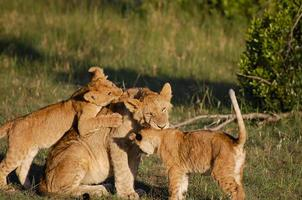 masai mara - quênia foto