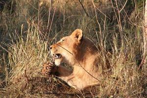 filhote de leão com garras foto