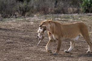 leoa carregando filhote