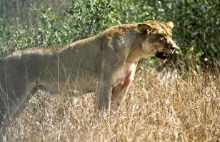 matança de leão