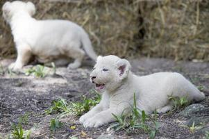 orgulho de filhotes de leão branco foto