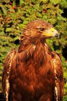 águia (aquila chrysaetos) foto
