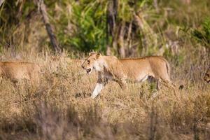 orgulho de leões andando na África
