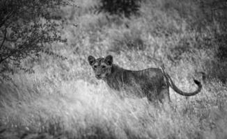 filhote de leão em preto e branco foto