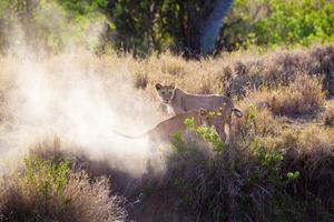 filhote de leão jogando no serengeti foto