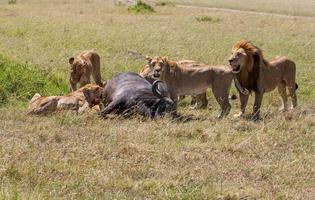 leões alimentação foto