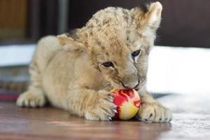 filhote de leão pequeno bonito mordendo uma bola foto