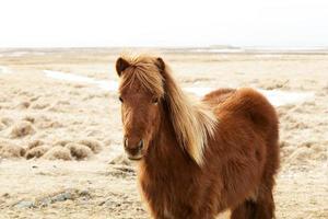 retrato de um pônei islandês marrom foto