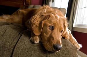 retriever dourado no sofá foto