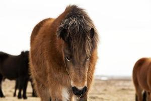 retrato de um pônei islandês com uma juba marrom foto