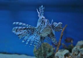 peixe-Leão foto