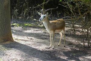 gazela bócio (gazella subgutturosa) foto