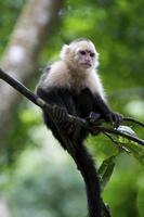 macaco capuchinho em uma vara de árvore foto