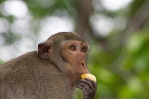 macaco comendo foto