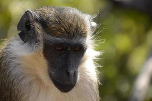 macaco vervet gâmbia foto