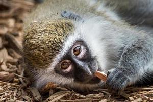 bebê grivet macaco vi foto