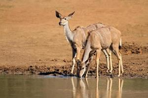 antílopes kudu bebendo