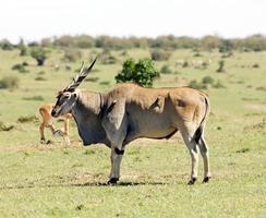 elã comum (tragelaphus ou taurotragus oryx) foto