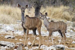 antílopes kudu, parque nacional etosha, namíbia