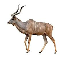 kudu maior foto