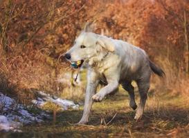 cão retriever dourado foto
