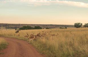 impala (antílope), parque nacional ezemvelo. África do Sul. 27 de março de 2015 foto