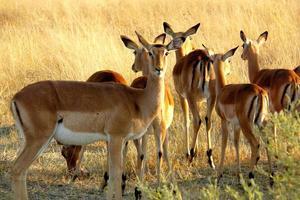 impalas no delta do okavango, moremi crossing, botswana, áfrica. foto