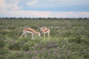gazela, parque nacional etosha, estação chuvosa, namíbia, áfrica