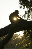 macaco vervet ao nascer do sol no Parque Nacional Kruger, África do Sul foto