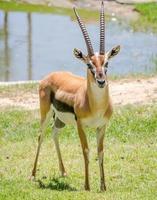 Thomson Gazelle foto