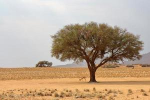 gazela debaixo da árvore