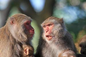 macacos em shoushan, montanha de macacos na cidade de kaohsiung, taiwan foto