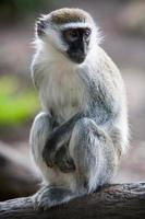 macaco vervet em uma árvore foto
