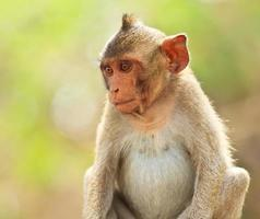 macaco na tailândia foto