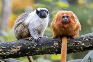 mico-leão-dourado foto