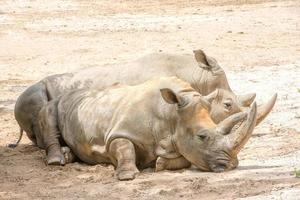 retrato de rinoceronte branco africano enquanto relaxa foto