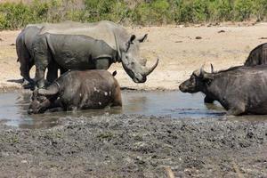 rinoceronte e búfalo foto