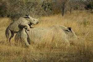ambição de rinoceronte foto