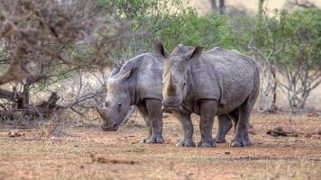 par de rinoceronte branco foto