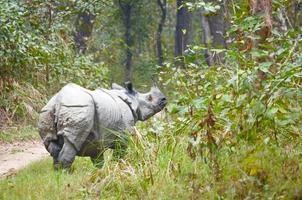 rinoceronte masculino vive no parque nacional de chitwan, nepal foto